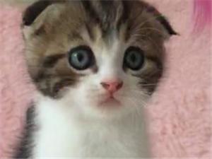 精品苏格兰折耳猫出售 专业猫舍繁殖包活