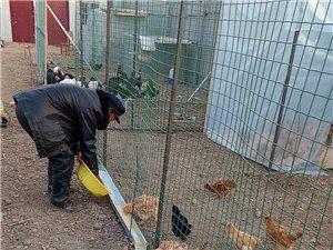 果园散养贵妃鸡、火鸡、北京油鸡、翻毛鸡出售