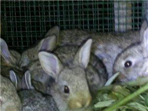中和青草兔养殖场