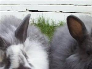 珠海 出售安哥拉長毛兔 珍珠長毛兔 巨型安哥