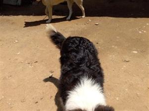 代友转让5个月公边境牧羊犬