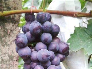 地里现摘葡萄10块钱一包4斤装