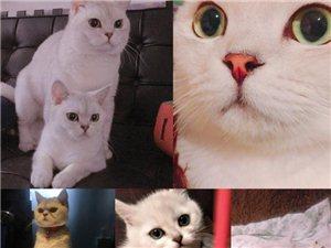 出售品种猫咪