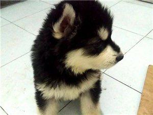 阿拉斯加犬,50天,已打一針疫苗