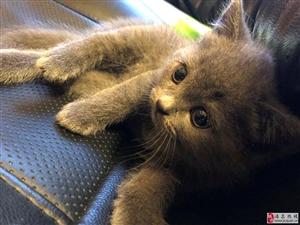 自家繁殖英短蓝猫。