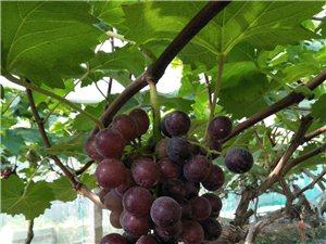 这个夏天,在哪里可以摘到香甜美味的水果,当属方家湾葡萄园。