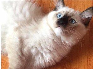 重点色手套布偶猫