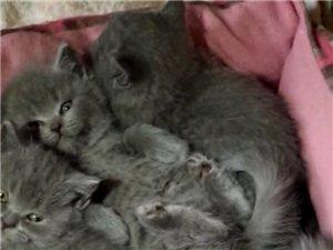 两个月大的小蓝猫出售