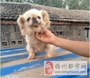 可爱漂亮的京巴犬