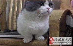 自己家养蓝猫、蓝白无毛猫价格不高