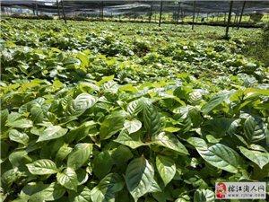 大量出售金钩藤种苗