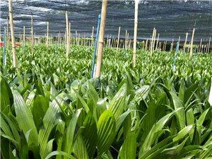 长期出→售槟榔苗~芽~种,25年以上树龄,苗床规♀模化