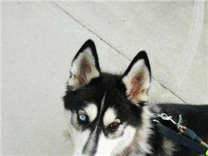 一歲母犬哈士奇