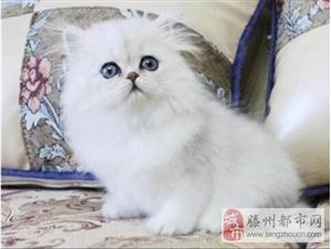 可爱品相好 纯种金吉拉猫猫公母都有