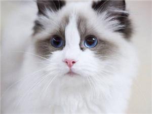 貓舍出售斯芬克斯無毛貓 加菲貓 藍貓 全國飛