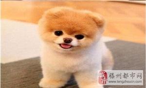 超萌网红俊介犬 哈多利球形博美  免费送上门  包健康