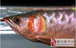 滕州龙语水族红龙专卖