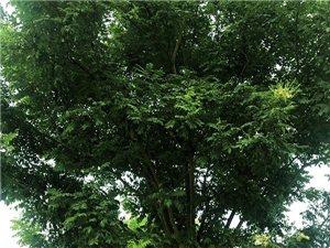 出售各種規格苗木樹木