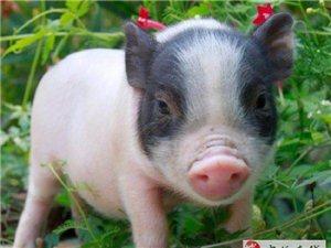 寵物豬一公一母