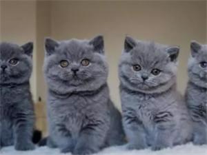 CFA貓舍出售美短加白 加菲貓 銀漸層幼貓