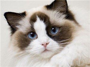 洛陽自家貓舍繁殖出售精品布偶貓 包健康純種 可送貨