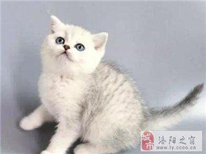 洛陽出售純種包健康美國短毛貓全國發貨