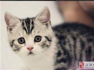 自家繁育出售 美短虎斑 英短藍貓 暹羅貓