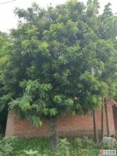 40年的槐树
