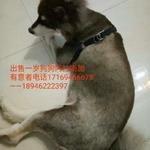 出售阿拉斯加犬 一岁