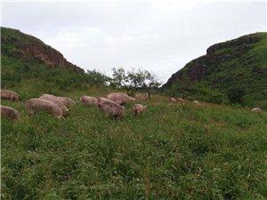 山林溜達豬