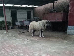 威猛高加索犬