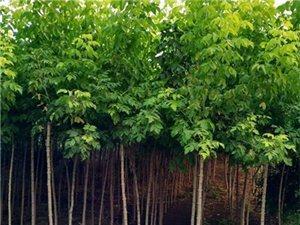 萬綠金葉復葉槭
