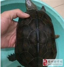 大乌龟草龟母