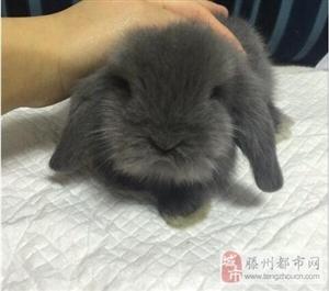 垂耳兔寻找爱兔人士