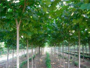 山東青州萬綠白蠟苗木供應基地