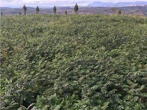 山西陜西花椒苗價格是0.35元花椒苗基地廠家批發