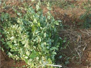 連翹苗的特點和習性 連翹苗價格、產地
