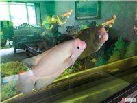 1.5米的魚缸,兩條挺大的帆船魚出售