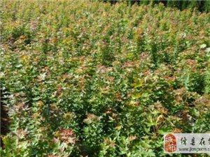 五角楓 五角楓價格是多少 五角楓種植技術和園林應用
