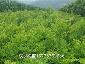 5號雙季米槐苗價格 雙季米槐特性及栽培技術要點