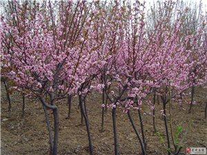 山東青州萬綠美人梅苗木供應基地