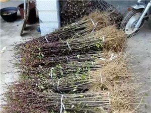 花椒苗價格 花椒苗產量分析  花椒苗的功效與作用