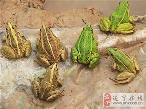 四川生态黑斑蛙养殖基地
