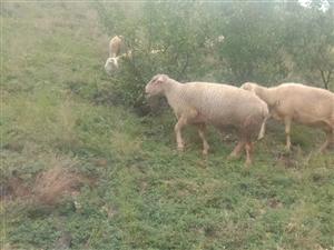 出售夏洛来种公羊