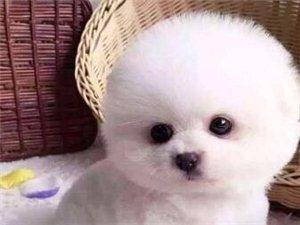 珠海出售純種博美幼犬