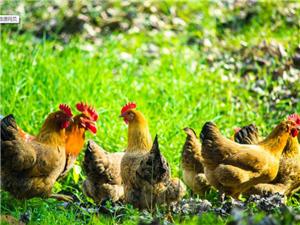 款場鄉款場村有放養雞900只急需出售