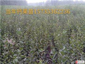 山西鈣果苗基地'農大鈣果苗價格鈣果的營養價值