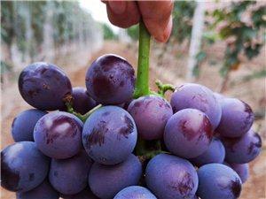 浍史葡萄庄园新鲜绿色有机葡萄