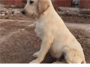 家養純種精品拉布拉多幼犬出售~