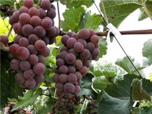 純天然葡萄,歡迎大家來采摘!